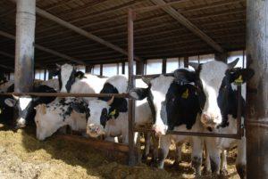 тепловой стресс у коров