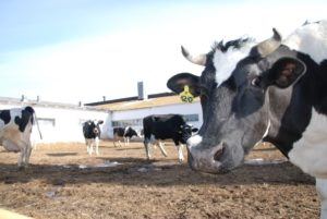 У коров тепловой стресс