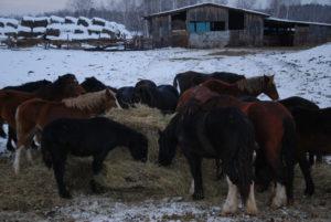 Сегодня в хозяйстве фермера 70 лошадей тяжеловозной породы